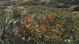 oak brush 001