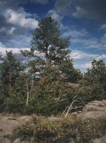 ponderosa pine1